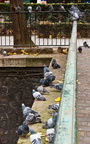 Canal St Martin - Les pigeons