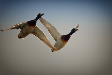 Canards volants - Villers