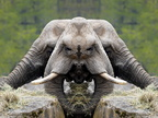 Elephants face to face
