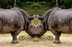 Rhinoceros face to face