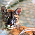 Sologne - Beauval - Lynx