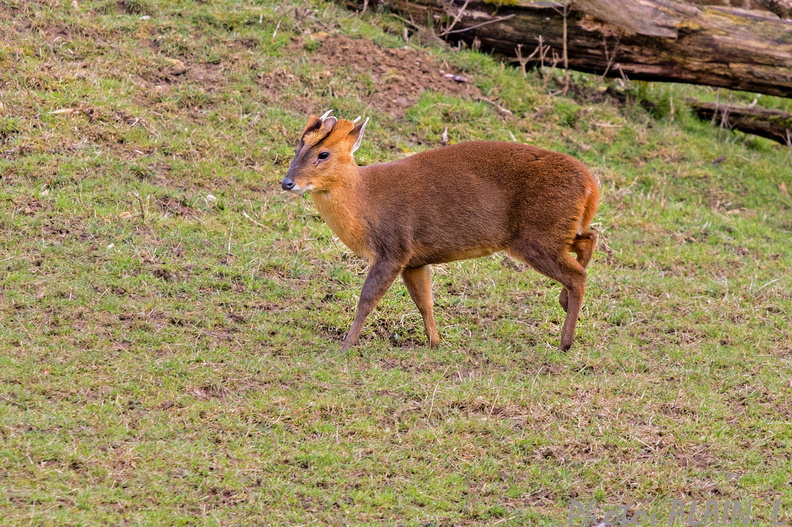 Sologne - Beauval - Muntjac.jpg