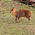 Sologne - Beauval - Muntjac