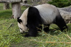 Sologne - Beauval - Panda geant 3