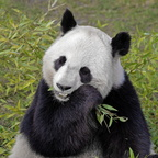 Sologne - Beauval - Panda geant 4