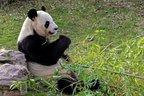 Sologne - Beauval - Panda geant 5