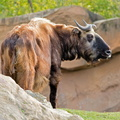 Sologne - Beauval - Takin
